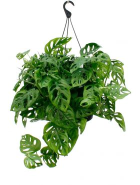 Hippe Philodendron Monkey Mask (gatenplant)