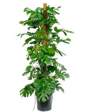 Grote Philodendron op mosstok kopen