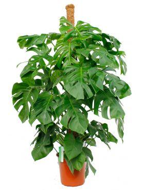 Monstera gatenplant met grote bladeren