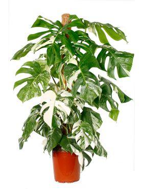 Philodendron pertusem variegatum / monstera