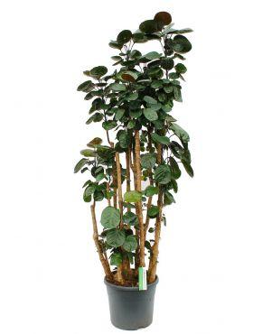 Aralia (polyscias) fabian kamerplanten