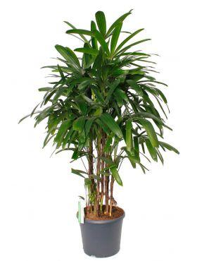 Koop deze palm Rhapis excelsa bij 123planten