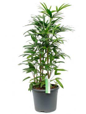 Rhapis multifida kamerplant kopen bij 123planten