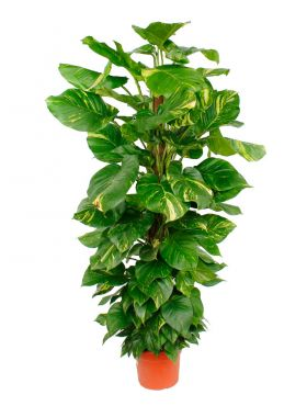 Scindapsus (epipremnum) aureum