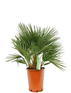 Mooie volle Chamaerops humilis palm kopen bij 123planten