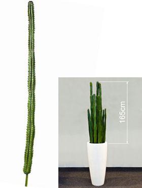 Cactus rio