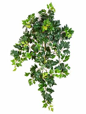 Cissus ellen danica (grape ivy)