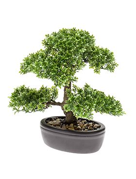 Bonsai Ficus mini