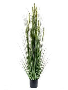 Grain grass