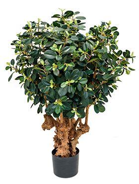 Ficus panda botanic tree