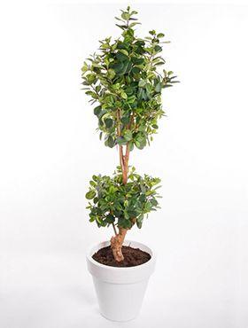Ficus Panda