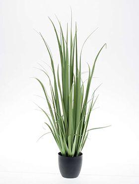 Yucca grass