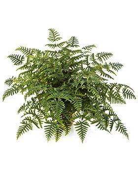 Athyrium fern