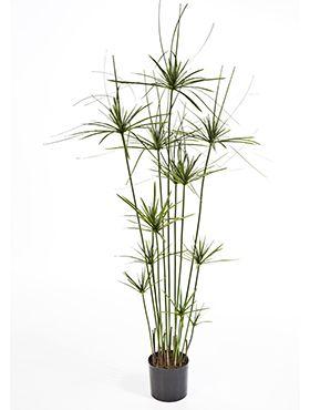 Papyrus tree