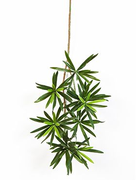 New podocarpus spray