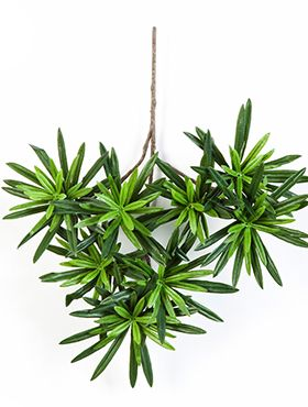 Podocarpus spray