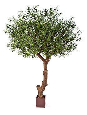 Natural olive tree poly