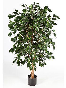Ficus nitida exotica