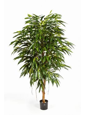Longifolia royal tree