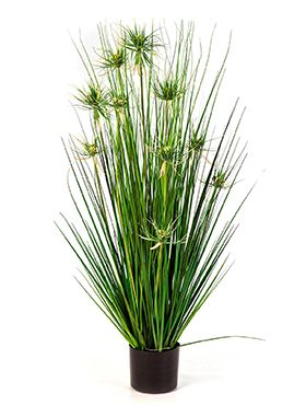 Onion star grass
