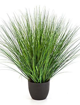 Fountain onion grass