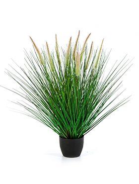 Pennisetum woodside