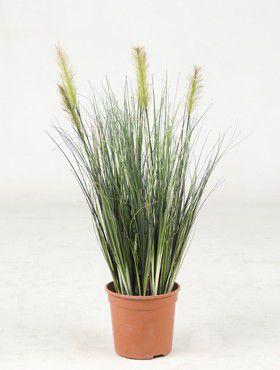 Grass plant