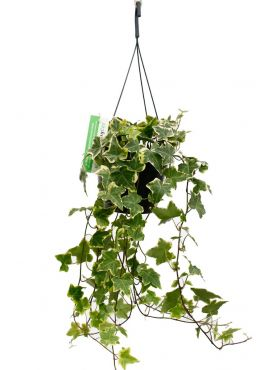 Hedera klimop plant kopen bij 123planten