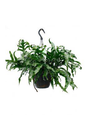 Mooi hangplant Microsorum kopen bij 123planten