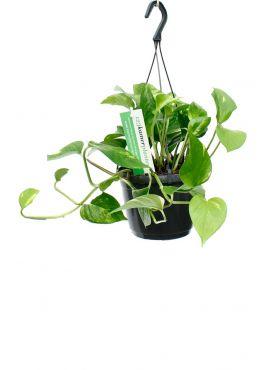 Epipremnum Aureum hangplant met groen gele bladeren
