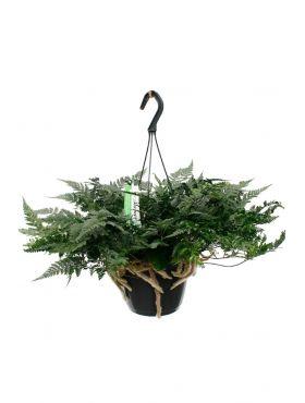 Humata teyermanii hangplant online kopen