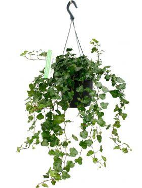 Leuke Hedera hangplant kopen