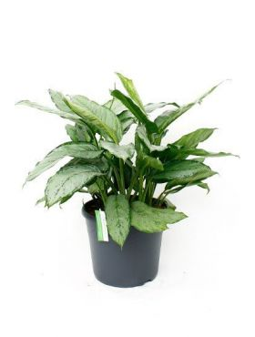 Aglaonema freedman