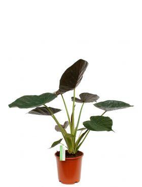Alocasia Wentii kopen bij 123planten