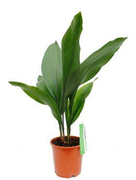 Aspidistra Eliator ook wel kwartjesplant of slagersplant