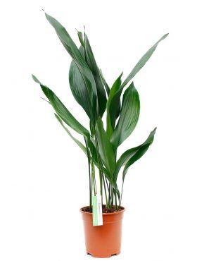 Aspidistra kwartjesplant kopen voor in de woonkamer