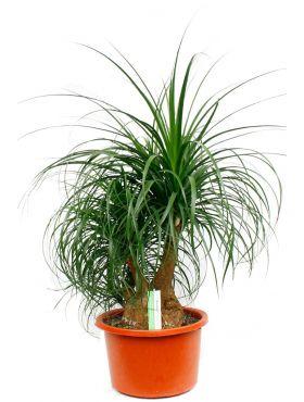 Beaucarnea stoere plant met stam