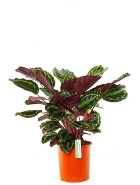 Calathea Pauwenplant