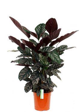 Prachtige Calathea ornata kamerplanten kopen