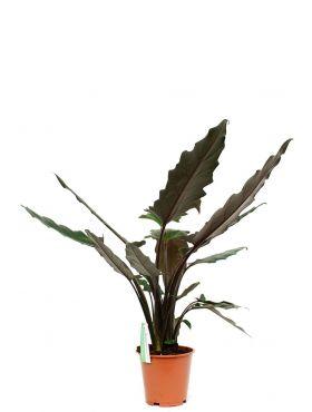 Alocasia Lauterbachiana kamerplant kopen bij 123planten