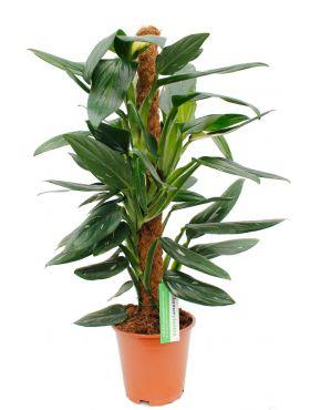 Philodendron Cobra kopen bij 123planten