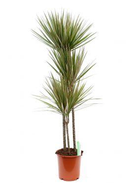 Dracaena Bicolor drakenbloedboom met drie stammen kamerplant online kopen