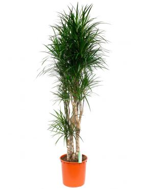 Grote Dracaena Marginata kopen bij 123planten