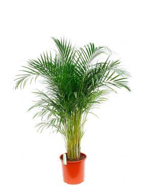 Grote Areca goudpalm kamerplanten
