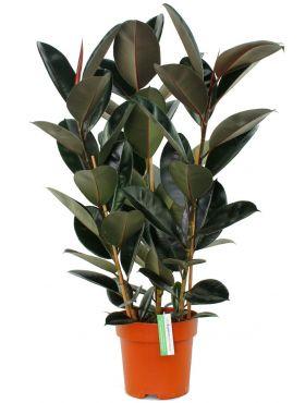 Ficus Elastica met donker groene bladeren