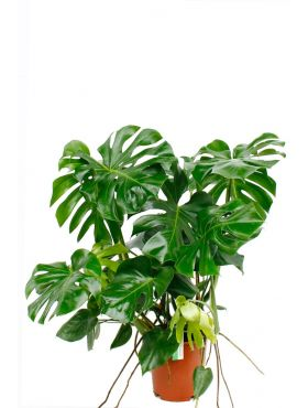 Philodendron Monstera kamerplant