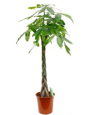 Pachira geldboom kopen bij 123planten