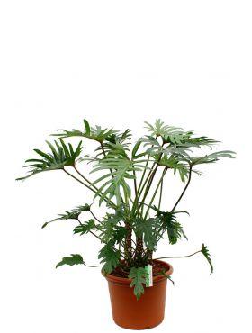 Philodendron Xantal kamerplant kopen bij 123planten
