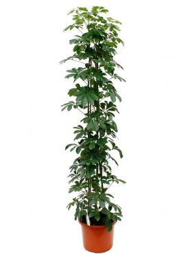 Schefflera arboricola kamerplant online bestellen 123planten