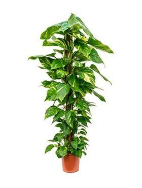 Epipremnum scindapsus